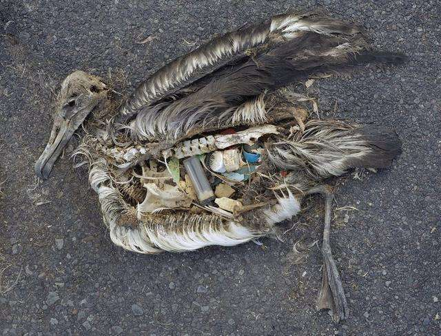 误食塑料垃圾死掉的鸟类